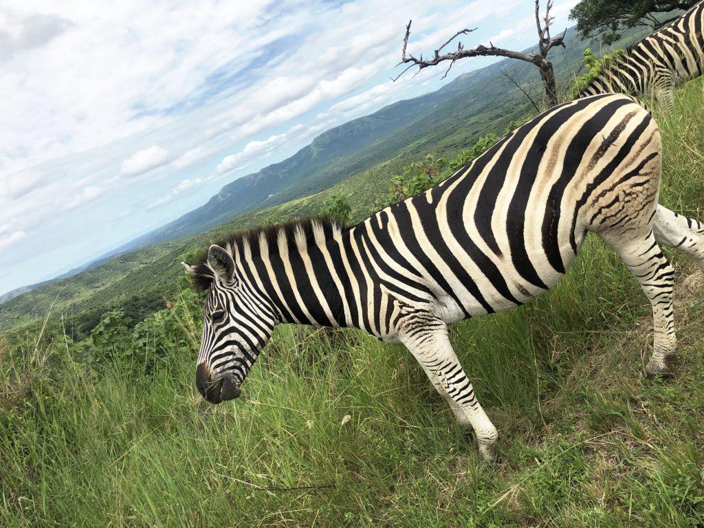 zebra south africa safari