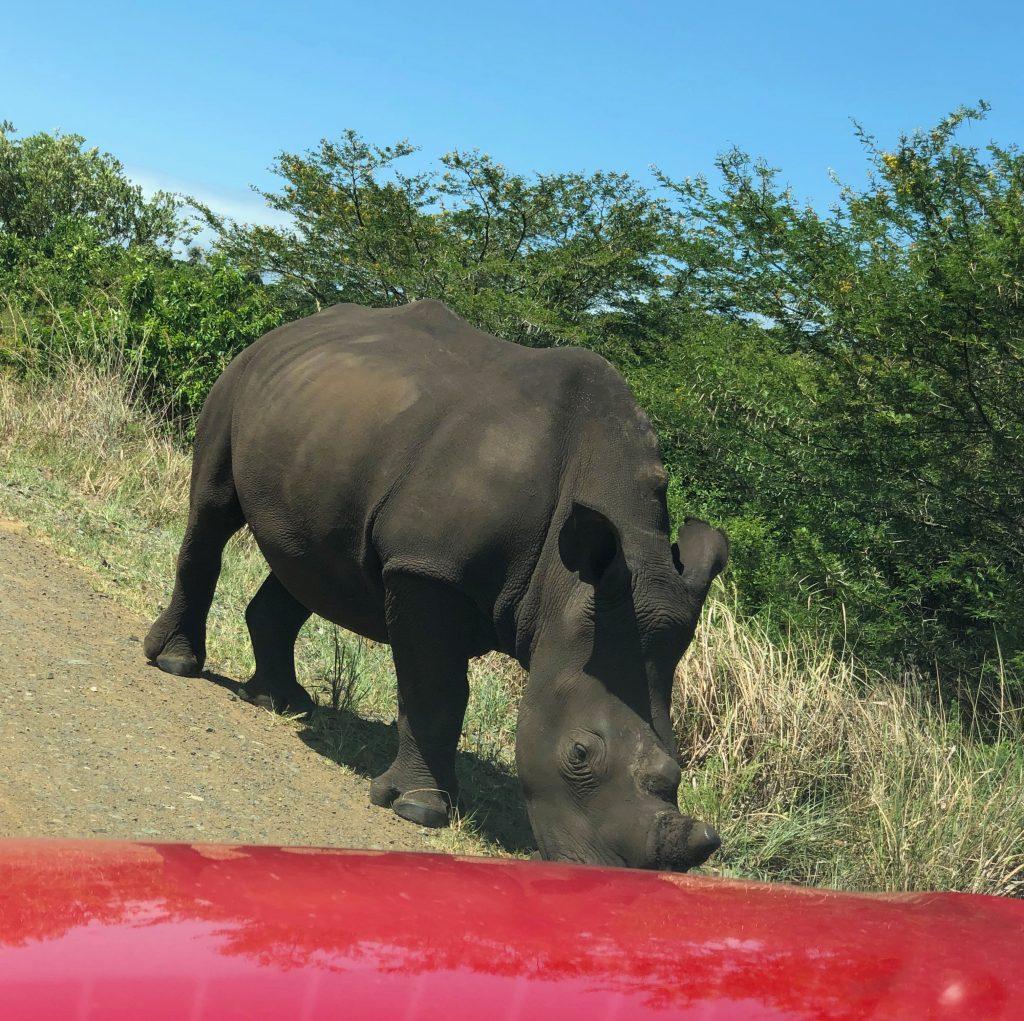 noshörningar sydafrika safari med bil