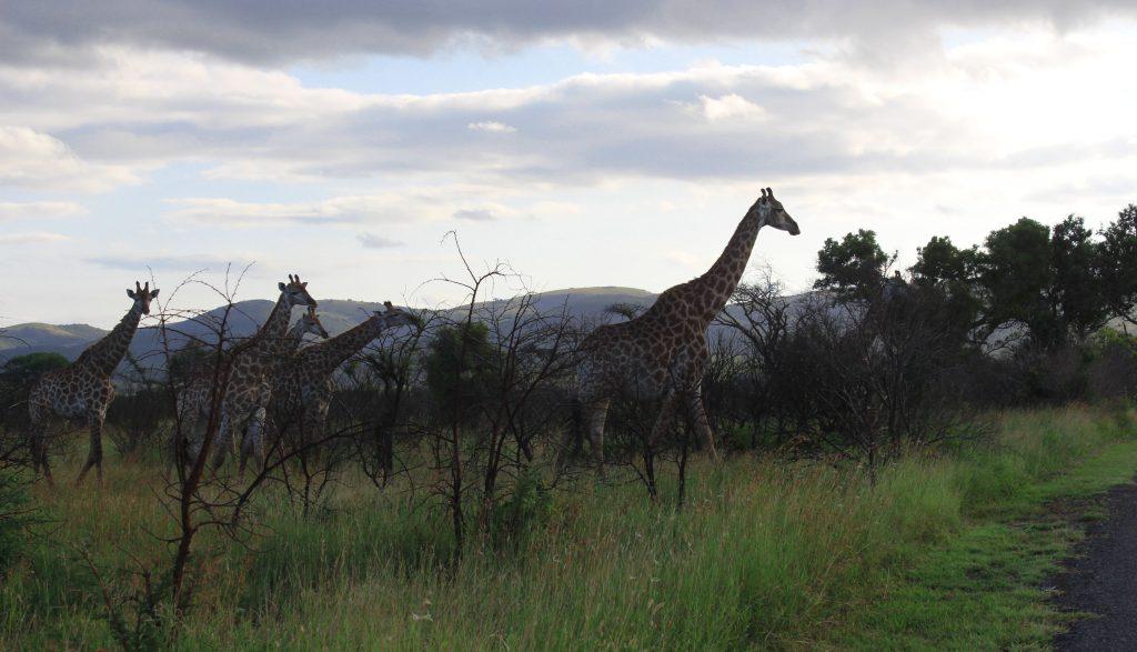 safari trip south africa lion king