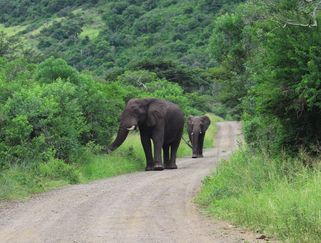 elephants on the road in south africa